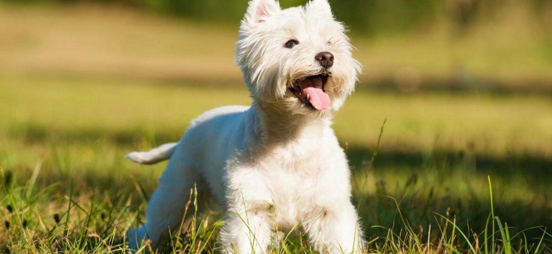 West Highland White Terrier: todos los cuidados que necesitas saber