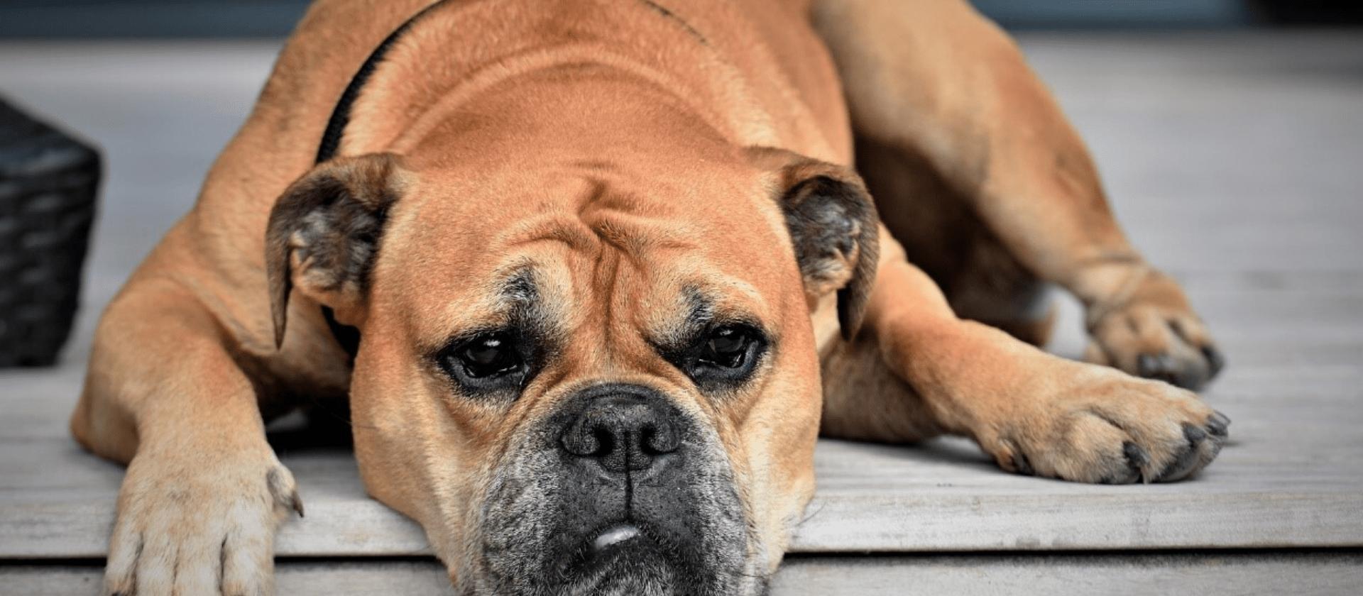 Cómo detectar y cómo tratar la artrosis en los perros