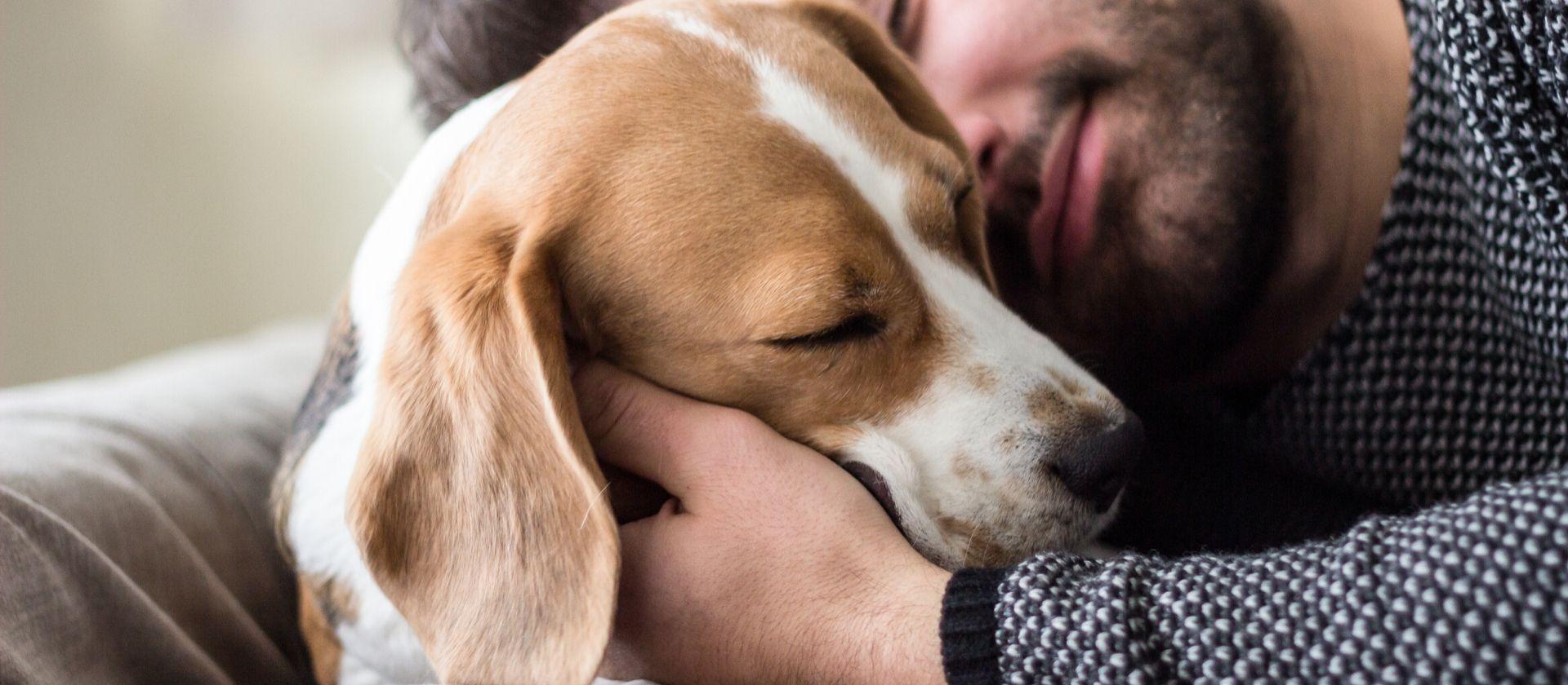 Beagle: todos los cuidados que necesitas saber