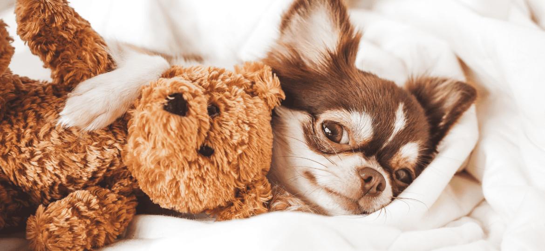Chihuahua: todos los cuidados que necesitas saber