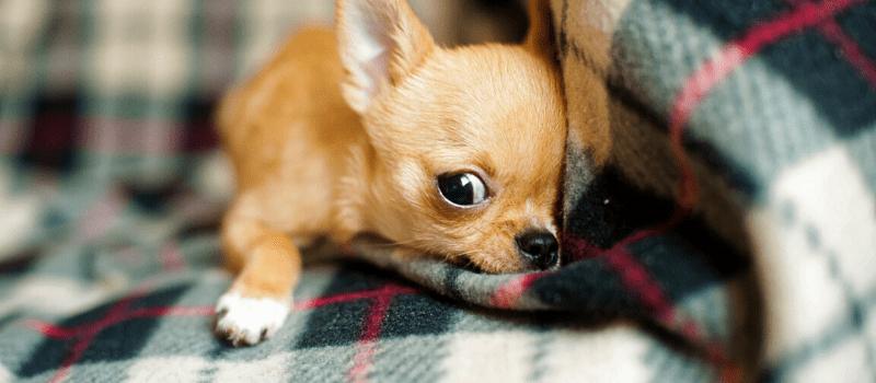 Cómo debes cuidar a tu perro si es de raza pequeña
