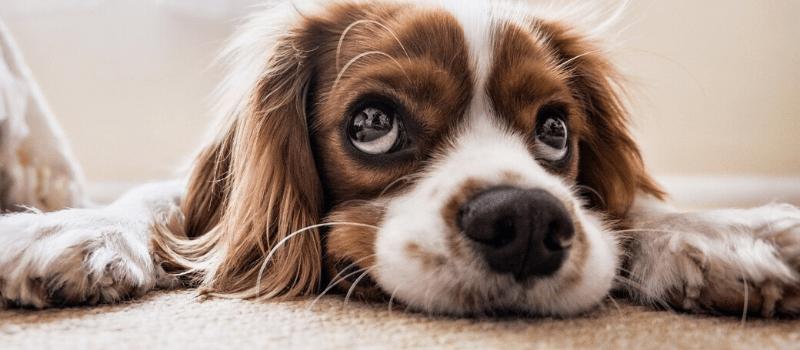 ¿Cómo saber si cortarle el pelo a un perro?