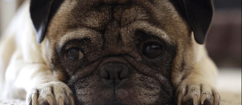 Enfermedades congénitas más comunes en los perros