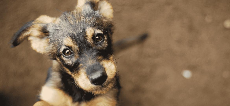 Las enfermedades hereditarias más comunes en los perros