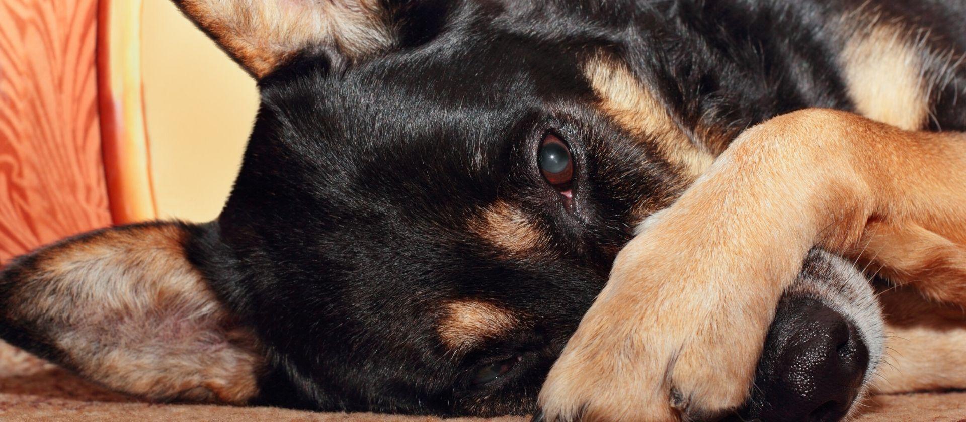 Las enfermedades de los ojos en los perros que deberías conocer