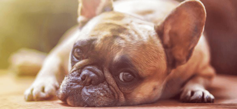 ¿Por qué es importante el microchip en nuestro perro?
