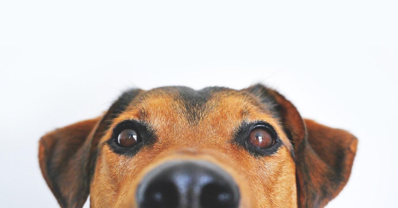Tratamiento de la dermatitis atópica en los perros