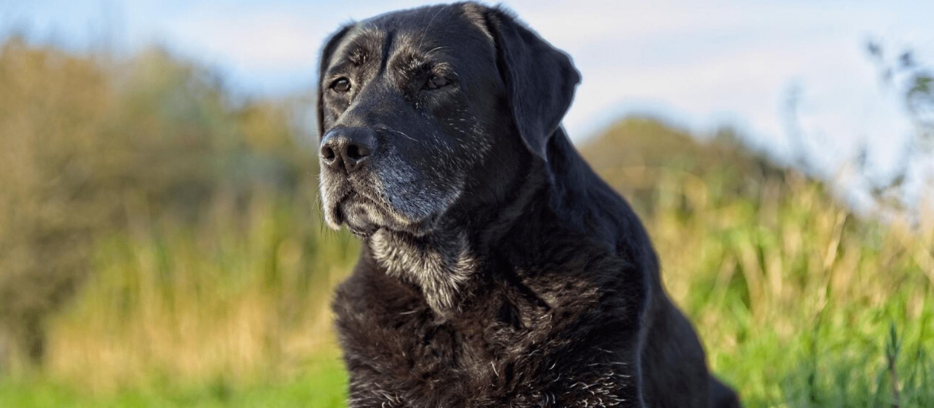 Las enfermedades más comunes en perros mayores