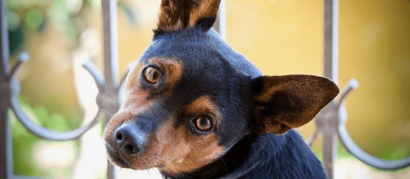 Desparasitación del perro: ¿pipeta o collar?
