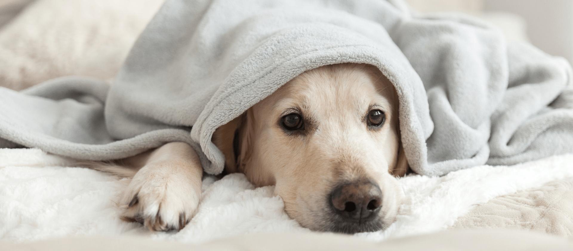 Cuál es la temperatura perfecta en el hogar para tus perros?