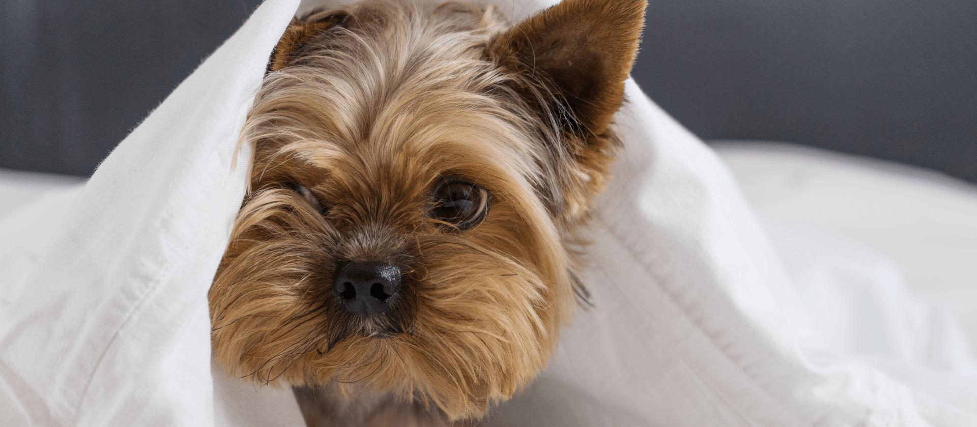 Yorkshire Terrier: todos los cuidados que necesitas saber